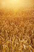 Field of wheat corns — Stock Photo