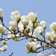 Magnolia flowers against blue sky background — Stock Photo