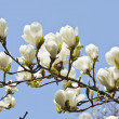 Magnolia flowers against blue sky background — Stock Photo #16792927