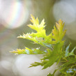 Green leaves and sun rays — Stock fotografie #16793329