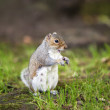 Grey squirrel — Stock Photo #16793453