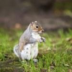 Grey squirrel — Stock Photo #16793453