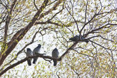 Grey Pigeons pearching on the tree branch — Stock Photo