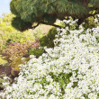 White flowers and a pine tree - Stock Photo
