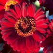 Red gerberas flowers — Stock Photo