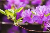 Purple Rhododendron flower — Stock Photo