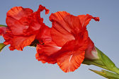 Flowers of a red gladiolus — Stock Photo