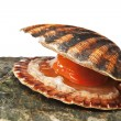Stock Photo: Isolated on white alive scallop