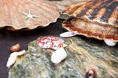 Alive Scallops on wet stones — Stock Photo