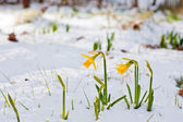 Daffodil blooming through the snow — Stock Photo