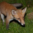 Wild red fox — Stock Photo