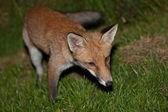 Wild red fox — Stock Photo