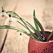 Bunch of snowdrop flowers — Stock Photo