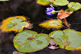 Water lilly flower — Stock Photo