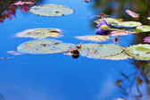Water lilly bloem — Stockfoto