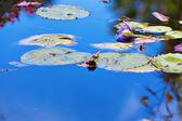 Wasser-lilly-blume — Stockfoto
