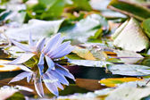 Water lilly flower — Foto Stock
