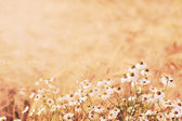 Camomile flowers in wheat field  — Stock Photo
