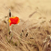 Golden wheat field with poppy flowers — Stock Photo