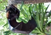 Flygande hund — Stockfoto