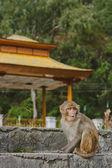 Wild monkey porträtt — Stockfoto