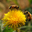Bees collect pollen from dandelion — Stockfoto #15374541