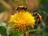 Bees collect pollen from a dandelion — Stock Photo