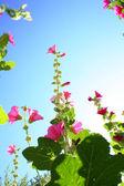 青い空を背景にピンクの花を夏します。 — ストック写真
