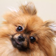 Spitz dog portrait, looking into the camera — Stock Photo