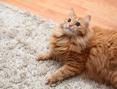 Red fluffy cat is on carpet looking up — Stock Photo