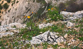 Yellow flowers in the mountains among the rocks — Stock Photo