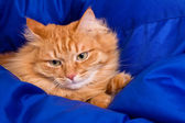 Ginger cat hiding in a blue blanket — Stock Photo