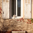 White cat coming out of the house through a window — Stock Photo