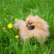 Cute Pomeranian dog sitting in the green grass - Stock Photo