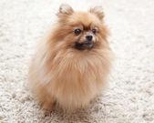 Fluffy Pomeranian dog sitting on a beige carpet — Stock Photo