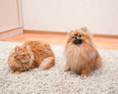 Pomeranian dog and red cat sitting on the carpet — Stock Photo