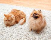 Pomeranian dog and cat sitting on the carpet — Stock Photo