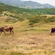 Stock Photo: Two cows on hillside
