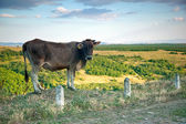 Cow on the background of l landscape — Stock Photo
