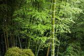 Green bamboo grove defocused — Stock Photo