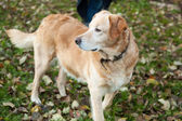Labrador standing on the grass — Stock Photo