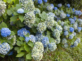 Blue hydrangea flowers — Stock Photo