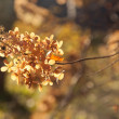 Dried hydrangea in a tree soft-focused — Stock Photo