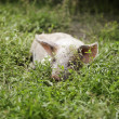 Little piglet lying in the grass — Stock Photo