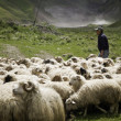 Shepherd and flock of sheep — Stock Photo