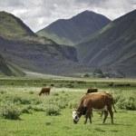 Cows graze in mountains — Stock Photo