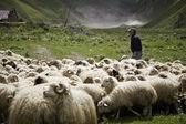 Shepherd and flock of sheep — Stock Photo