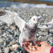 White pigeon sitting on hand — Stock Photo #35396421