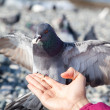Gray pigeon sitting on hand — Stock Photo #35396485