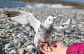 White pigeon sitting on hand — Stock Photo